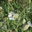 シレネ・ヴルガリス Silene vulgaris