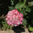 権現堂堤の紫陽花(2)