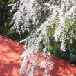 古御堂の桜