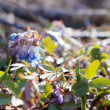 エゾエンゴサク Spring ephemeral