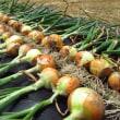 タマネギ「OP黄」「アトン」「ネオアース」の収穫
