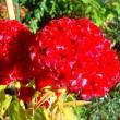 菊の季節だが、わが家の庭先には華がない。