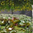 明石公園の睡蓮 は 5月