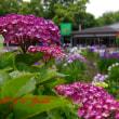 太宰府 紫陽花と菖蒲 pentax k7&smc PENTAX-DA 18-135mmF3.5-5.6ED AL [IF] DC WR