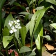 天王川公園の藤の花