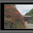 寺町御門と百日紅
