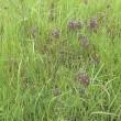 ダキバアレチハナガサ(抱葉荒地花笠)クマツヅラ科