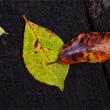 鞍掛山の落ち葉8