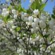 紅白の花を求めて島田奥へ(ドウダン原)