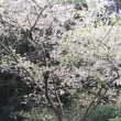 ヒマラヤ桜を見にいざ天草へ