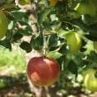 葉陰のリンゴは涼しそうですが