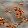 冬枯れたこの時期に、果実が美しい!……天下茶屋から花便り!