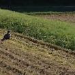 稲刈り籾摺り