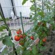 初夏の収穫