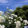 中之島公園のバラ②