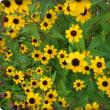 こぼれ種の花がいっぱぁ~~い♪('▽'*)