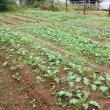 2017年10月22日 今日は台風近く雨ひどいので、また、畑は休みです。