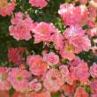 京都府立園のバラ3