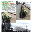 花巡り 「水仙-30」 幸手中川崎付近