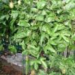 ジャンボパッションフルーツ蕾と枝の整理