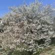 福島の梅の花