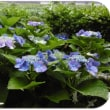 『紫陽花』 …実家の庭