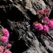 襟裳岬 この美しき花を誰に見せましょう 「ヒダカミセバヤ」