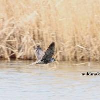 水面を飛ぶ 1