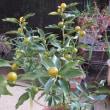 こぼれ種の小松菜