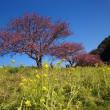 2月23日 下田みなみ桜
