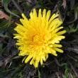 冬に咲いている西洋タンポポと日本水仙