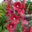季節の花「立葵 (たちあおい)」