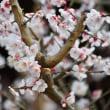 梅の便り - 湯島天神