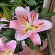 庭にピンクのユリが咲いています