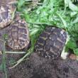 屋外飼育中は泥亀の孵化仔