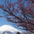 山中湖畔の桜