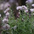 可愛い~白い花 ハナカンザシ