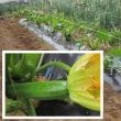 5月18日・サトイモの畝肩にショウガ植え付けました!