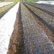 玉ねぎを定植