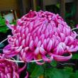 今年も菊の季節が巡って来た。 ♯菊