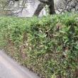 水戸の保存生垣