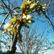 桜が咲き出しました~