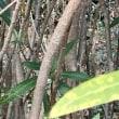 キョウチクトウ 樹皮