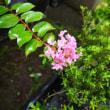 挿し木の姫サルスベリ