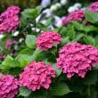 紫陽花の季節3・・・【いな】