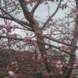 早咲きさくら&河津さくら 3月15日撮影