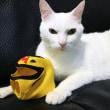 2月7日(木)のつぶやき 白猫ミルコ 似合うかニャ?タイガー風の点眼補助具も出来たニャよ(ФωФ)ノ#白猫 #猫 #cat #mask #虎になるのだ