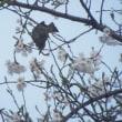 桜とヒヨドリとワンズ