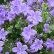 ブルーオーシャンの花は