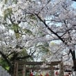 高津の桜3.30